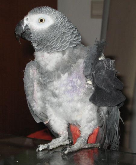 Graupapagei mit Verband aus einer Socke am Flügel