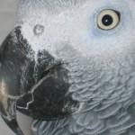Schnabelpilz bei einem Graupapagei