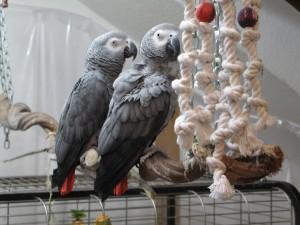 Papageien mit abgenagtem Spielzeug