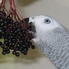 Papagei_Ernährung