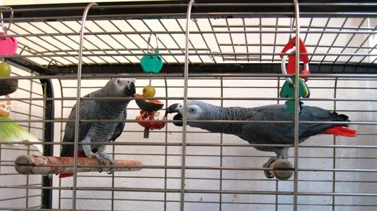 zwei Papageien fressen vom Obstspieß