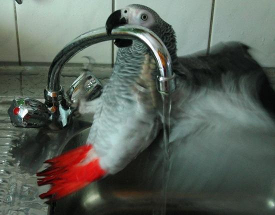 Graupapagei nimmt ein Bad im Spülbecken