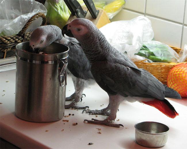 Papageien auf dem Küchentisch - Teflon ist eine Gefahr!