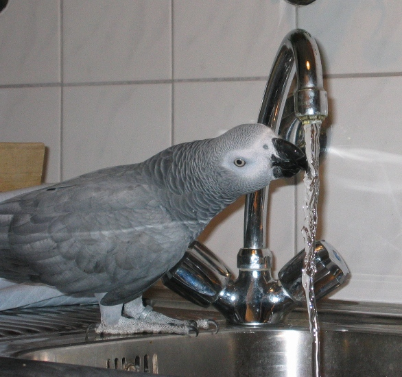 Graupapagei trinkt in der Küche aus dem Wasserhahn