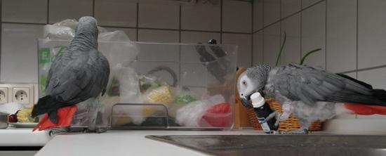 Zwei Graupapageien in der Küche