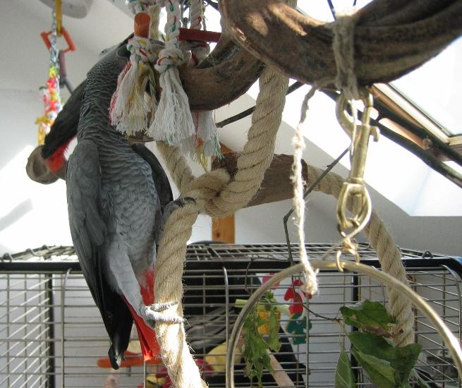 Papagei klettert an Sisalringen und Sitzast