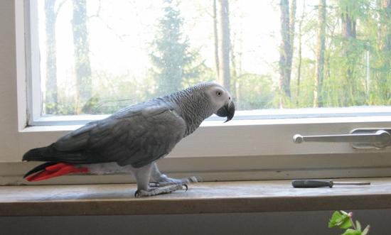 Fenster können eine Gefahr für Papageien sein