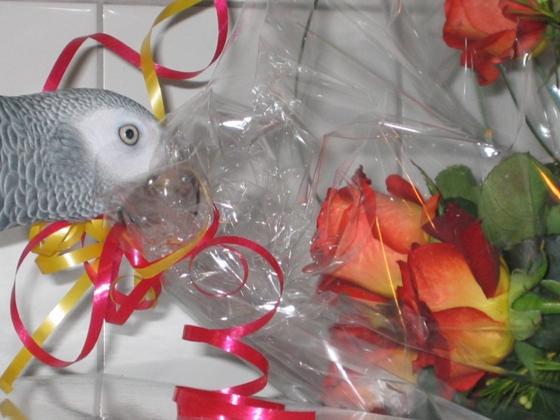 Graupapagei mit Rosen