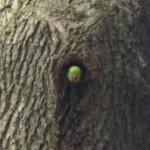 Halsbandsittich schaut aus Baumhöhle