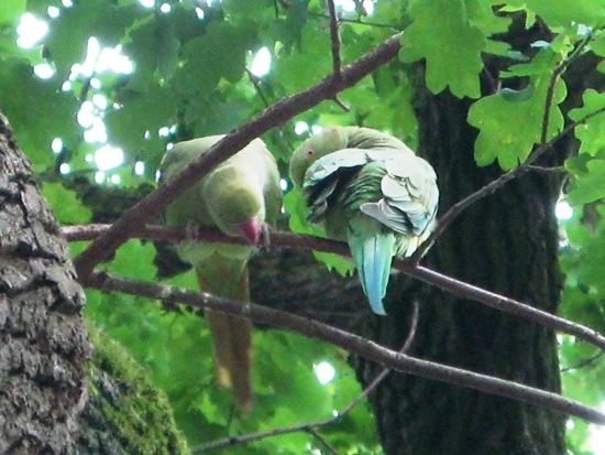 Halsbandsittichpaar auf dem Brutbaum