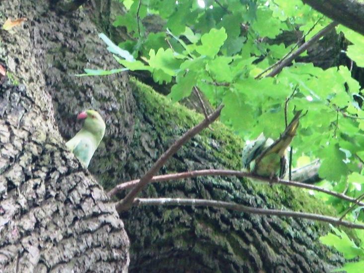 Halsbandsittiche auf dem Brutbaum